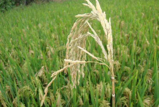 水稻穗期三病一虫偏重发生 注意防范